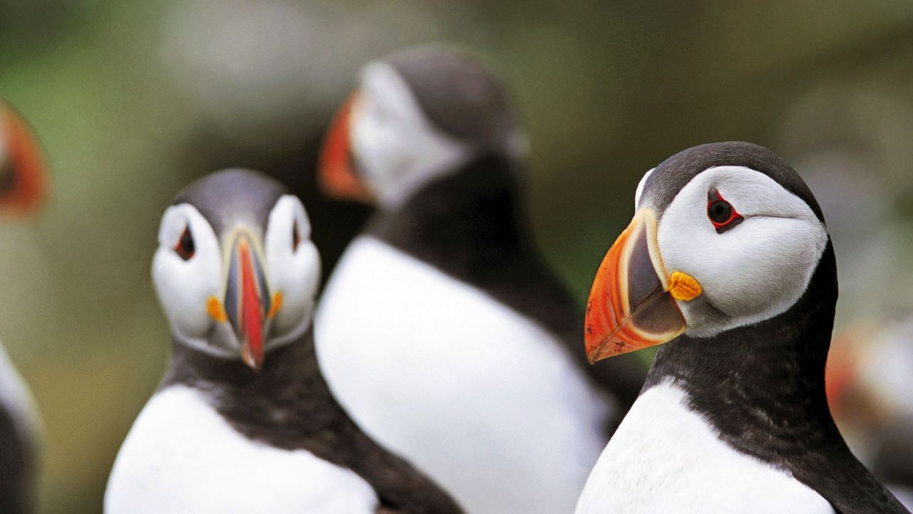 Puffins on Rathlin Island RSPB